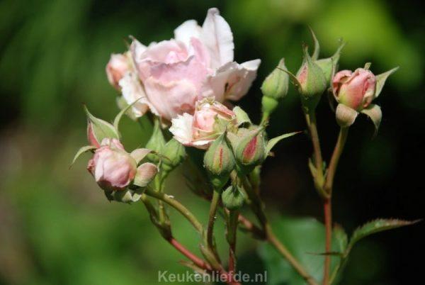 Handige tips voor mooie rozen
