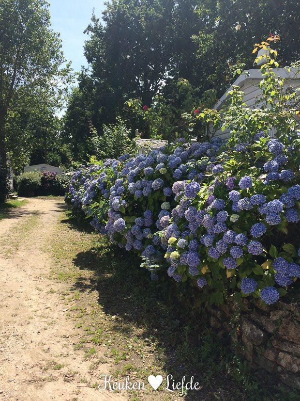 Overal in Bretagne kom je ze tegen: hortensia's. Ook op onze camping vind je ze in overvloed.